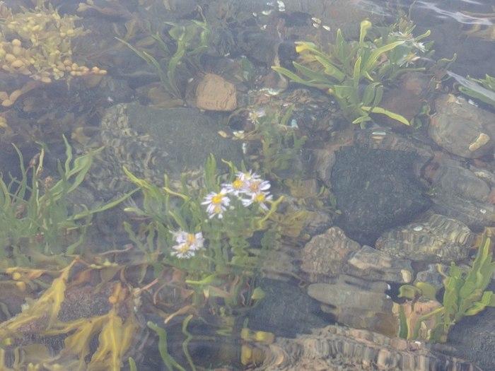 Цветок под водой Белое море, Фотография, Сложноцветное, Цветок, Литораль, Ботаника, Растения