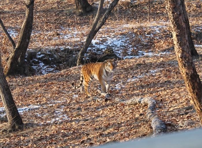 Маруся Маруся, Сафари-Парк, Амурский тигр, Длиннопост
