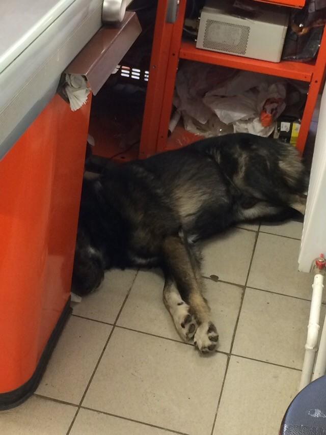 Собакен кассир. Дикси, Супермаркет, Магазин, Собака, Смешное, Длиннопост