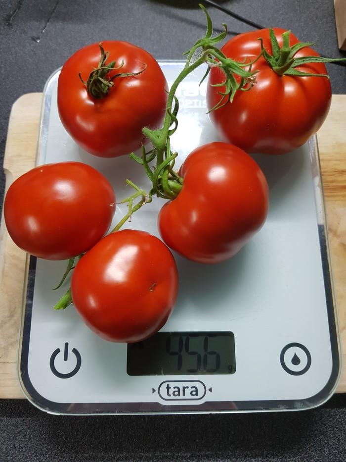 Зимние помидорки Гидропоника, Помидор, Длиннопост