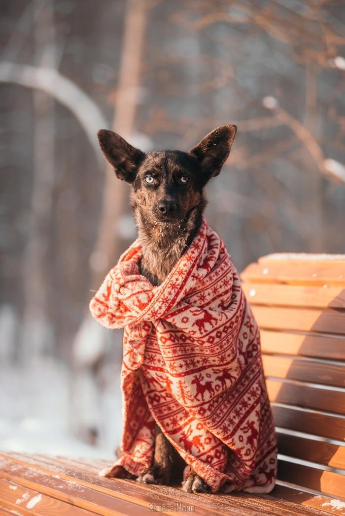 """Еще """"немного"""" зимней Луны Собака, Зима, Холод, Фотография, Гетерохромия, Голубые глаза, Уют, Плед, Длиннопост"""