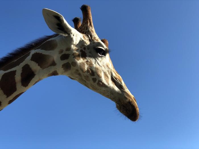 Жирафов пост Жираф, Сафари-Парк, Филиппины, Зебра, Милота, Животные, Длиннопост