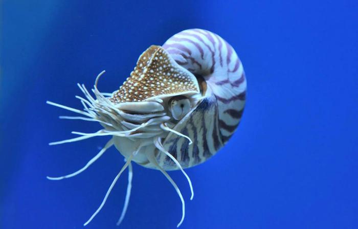 Наутилус: 500 млн лет без изменений Наутилус, Животные, Дикие животные, Океан, Зоология, Юмор, Природа, Книга животных, Длиннопост