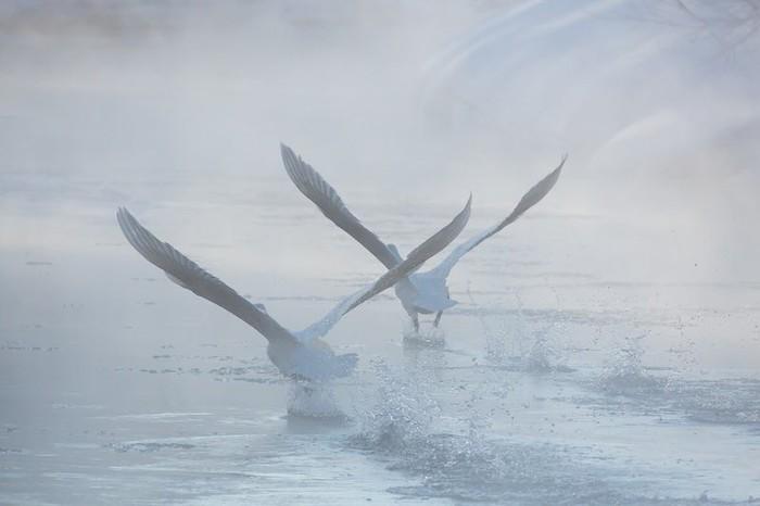 Лебеди Фотография, Птицы, Лебеди, Фотограф Денис Будьков, Камчатка, Длиннопост