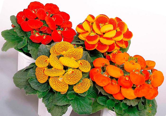 Кальцеолярия Кальцеолярия, Башмаки, Цветок, Необычное, Комнатные, Длиннопост