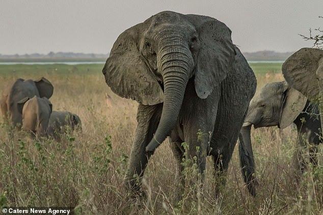 Деэволюция из за войны Слоны, Африка, Война, Бивень, Эволюция