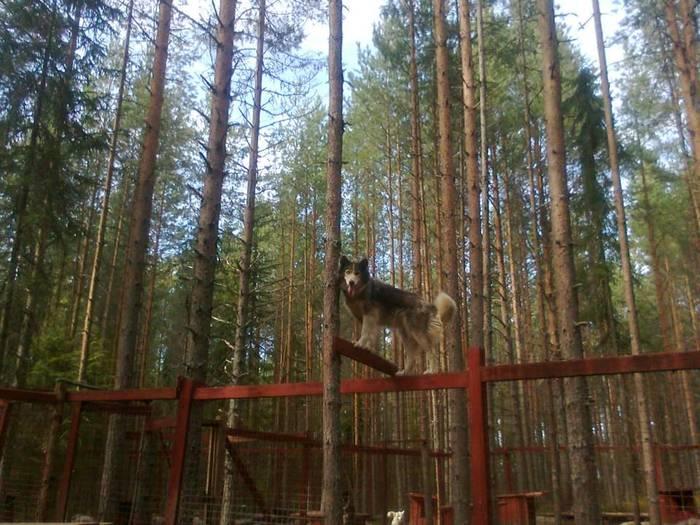 Чукотская ездовая Ездовые псы, Ездовой спорт, Собака, Животные