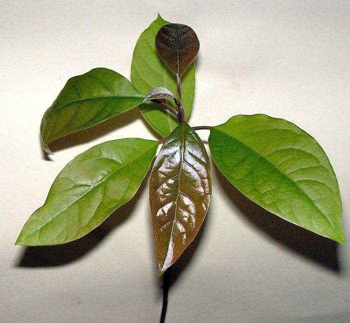 Как вырастить авокадо из косточки дома Авокадо, Комнатные растения, Домашние цветы, Авокадо из косточки, Длиннопост