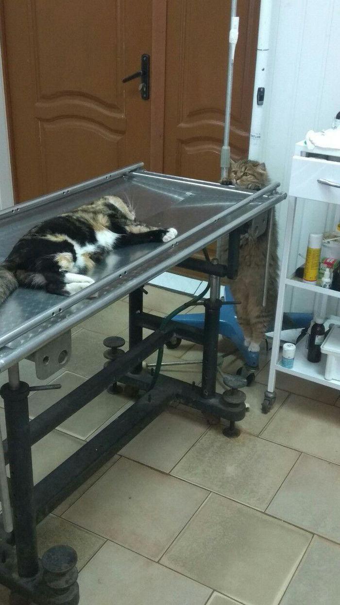 Переживает Кот, Котомафия, Ветеринария, Ветеринарная клиника, Переживания, Животные