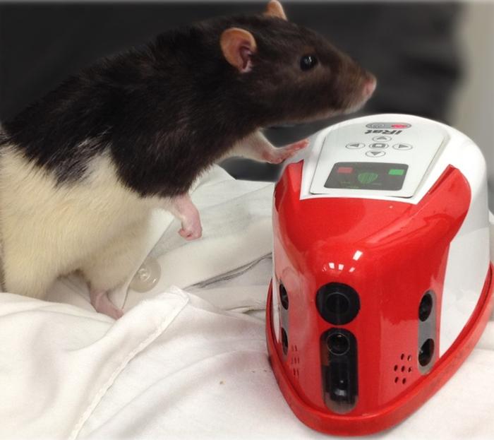 Крысоподобные роботы заслужили благодарность крыс Наука, Биология, Зоология, Этология, Копипаста, Elementy ru, Видео, Длиннопост