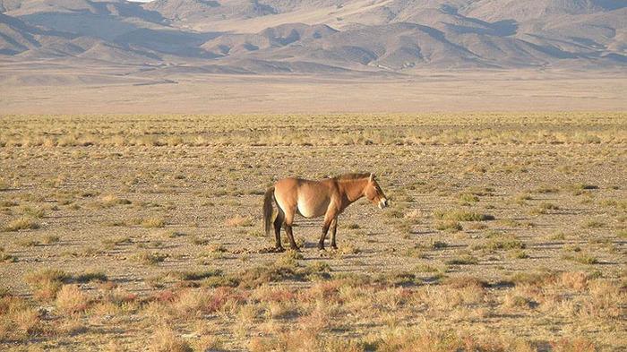 Лошади: дикие, домашние, одичавшие, свободные Копипаста, Познавательно, Интересное, Лошадь, Одомашнивание, Зоология, Дикие лошади, Elementyru, Длиннопост