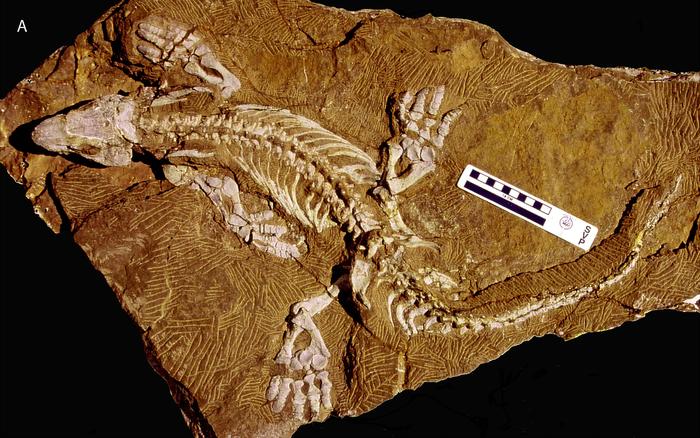 Робот, созданный по окаменелостям пермского периода. Интересное, Познавательно, Палеонтология, Наука, Эволюция, Компьютерное моделирование, Тетраподы, Пермский период, Гифка