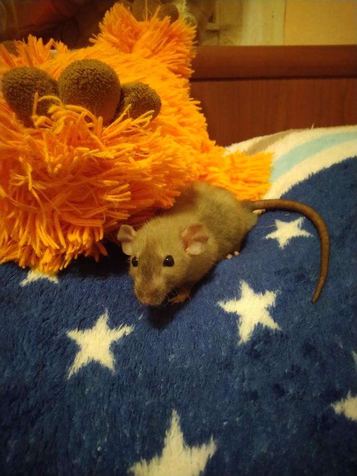 Два шуршунделя Крыса, Домашние животные, Грызуны, Длиннопост