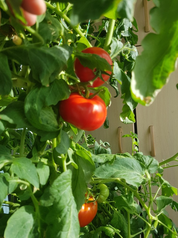 Зимние помидорки на гидропонике(продолжение) Гидропоника, Помидор, Длиннопост