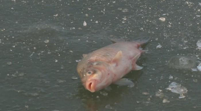 Массовая гибель рыбы в Атырау Рыба, Массовая гибель рыбы, Казахстан, Атырау, Экологическая катастрофа, Длиннопост