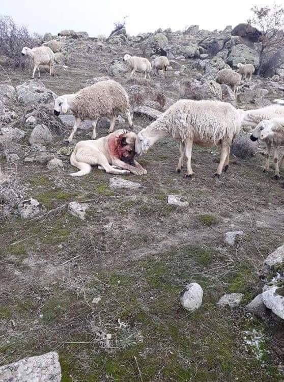 Благодарность собаке за спасение стада от волка