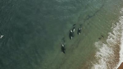 Косатки плывут на боку, чтобы скрыть свои спинные плавники от тюленей, на которых они охотятся Животные, Интересное, Хищник, Гифка, Косатка
