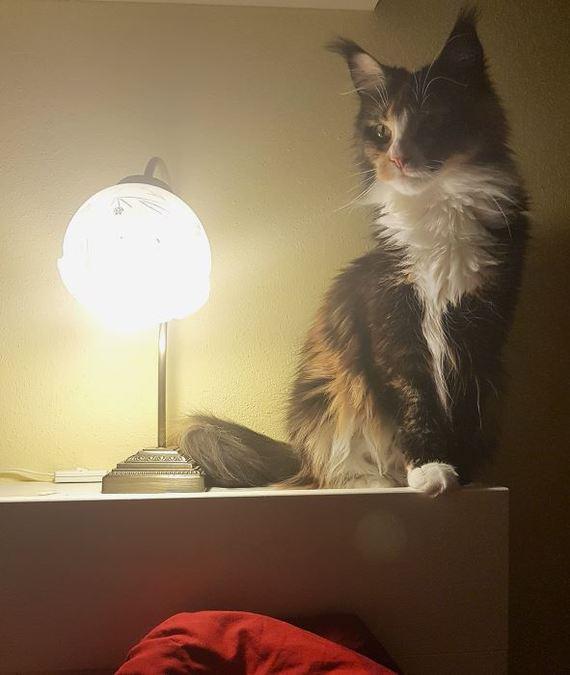 Ещё одна кошка с лампой Кот, Трехцветная кошка, Мейн-Кун, Кот с лампой, Хранители снов, Длиннопост