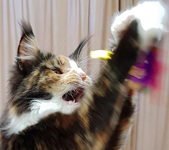 Мейнкуны повышенной зверскости :) Кот, Мейн-Кун, Трехцветная кошка, Махалка, Длиннопост