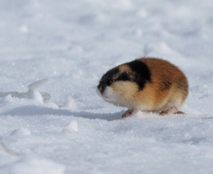 Это я иду зимой на работу. Лемминги, Зима, Снег, Холодно, Животные