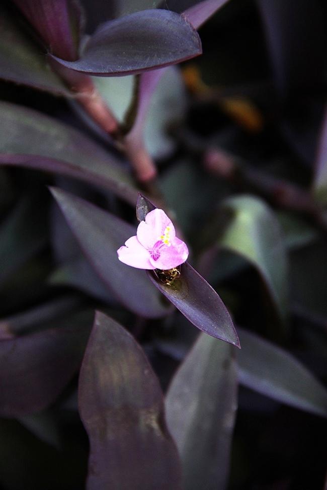 Такая разная традесканция Традесканция, Комнатные растения, Домашние цветы, Длиннопост