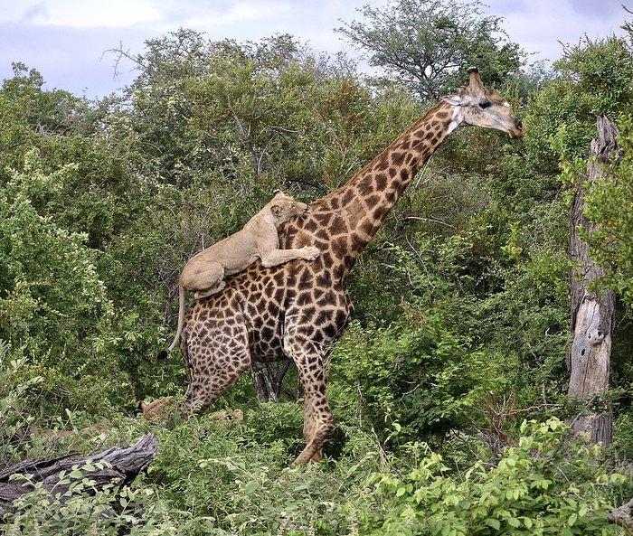 Тем временем в Лимпопо Дикая природа, Африка, ЮАР, Лев, Жираф, Лимпопо, Klaserie Private Nature Reserv, Видео