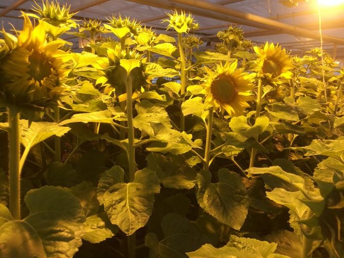 На улице зима, метель. А у нас подсолнушки цветут Сельское хозяйство, Лига Сельского Хозяйства, Селекция, Прогрессивное растениеводство, Подсолнух, Длиннопост