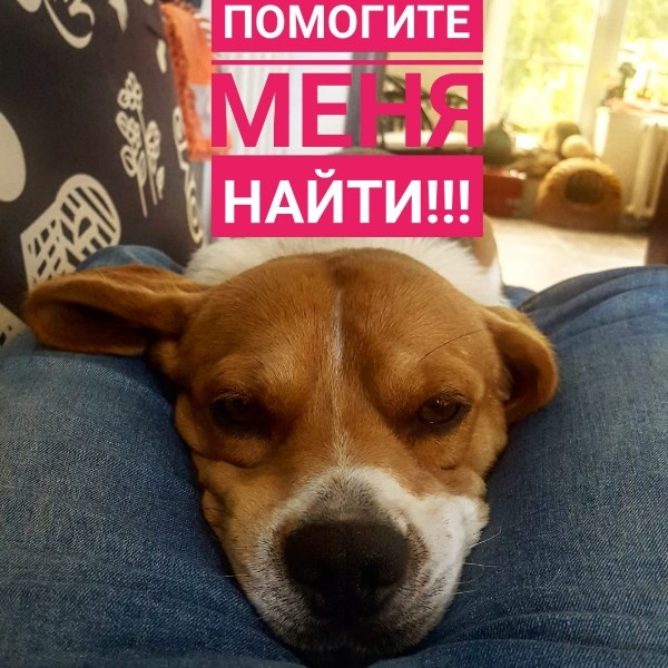 ПРОПАЛА СОБАКА!!! ПРОПАЛ БИГЛЬ!!! Пропала собака, Бигль, Пропал, Собака, Длиннопост, Без рейтинга