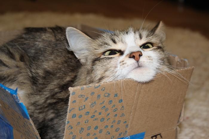 Люблю свою коробочку Коробка и кот, Милота, Наглая морда, Кот