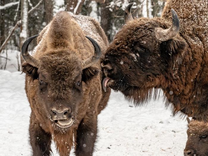 Телячьи нежности The National Geographic, Фотография, Зубр, Животные, Поцелуй, Снег