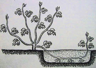Способы размножения винограда в домашних условиях Виноград, Виноградник, Размножение винограда, Уход за виноградом, Длиннопост