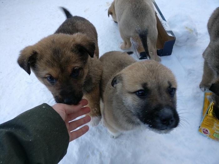 Очень нужна помощь щенкам! Собака, Помощь животным, Петрозаводск, Длиннопост, Без рейтинга, Животные, В добрые руки