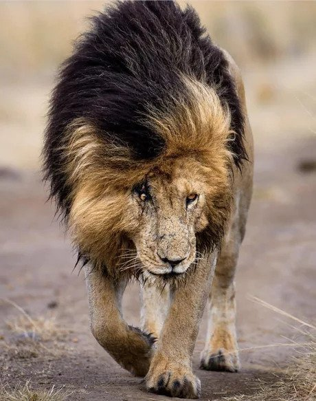 "Шрам из ""Короля Льва"" IRL"