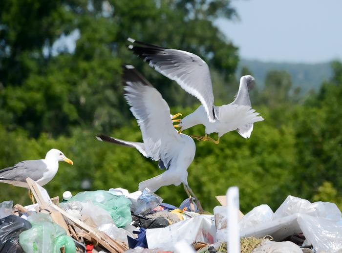 Чайки дерутся за мусор Мусор, Свалка, Тбо, Чайки, Птицы, Драка, Экология, Длиннопост