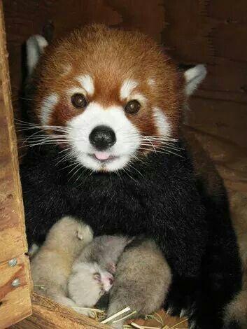 Новые красные панды