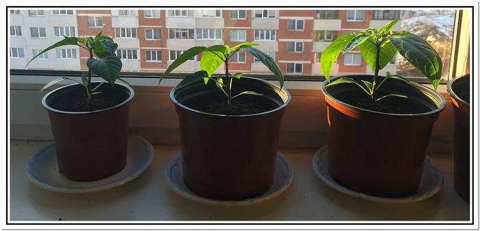 Выращивание острого перца Халапеньо на подоконнике. Халапеньо, Перец, Хобби, Выращивание, Длиннопост