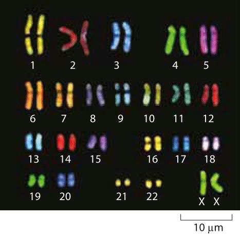 Сколько у человека хромосом? Биология, Генетика, Эволюция, Человек, История, Хромосомы, Человек наук, Длиннопост