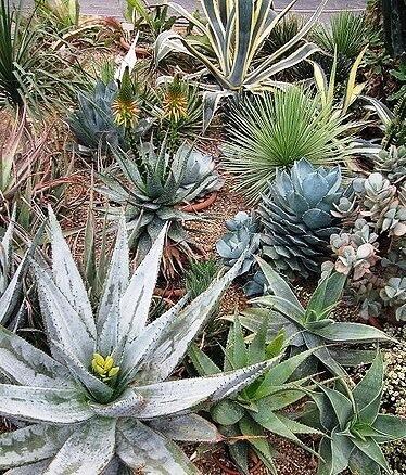 Агава - где растет, как выглядит, уход в домашних условиях Комнатные растения, Домашние цветы, Агава, Длиннопост
