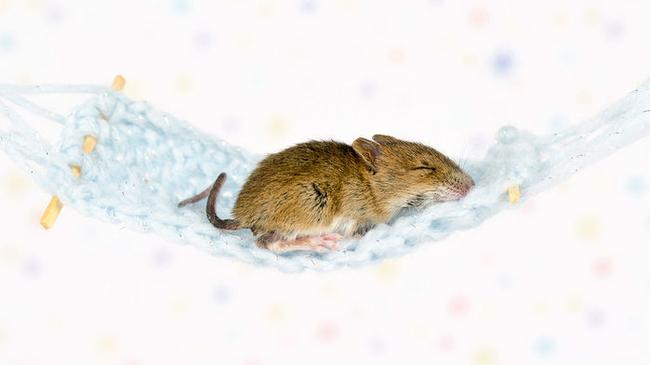 Мыши, как и люди, любят спать, покачиваясь. Бессонница, Исследование, Мышь
