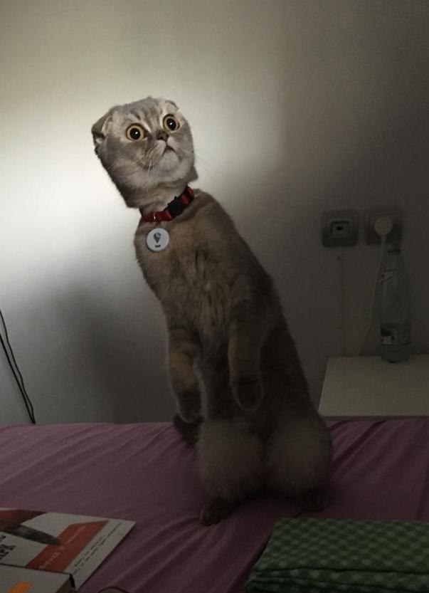 Какого?.. Кот, Котомафия, Шотландская вислоухая, Удивление, Смешное