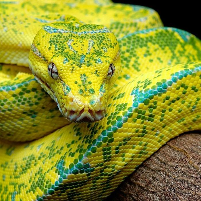 Жёлтый Питон