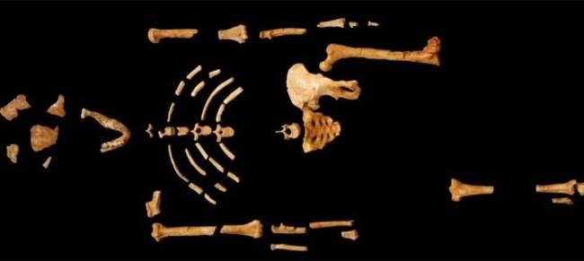 В СКЕЛЕТЕ ЗНАМЕНИТОГО АВСТРАЛОПИТЕКА ЛЮСИ НАШЛИ КОСТЬ МАРТЫШКИ-ГЕЛАДЫ Биология, Наука, Палеонтология, Антропология, Эволюция, Человек, Обезьяна