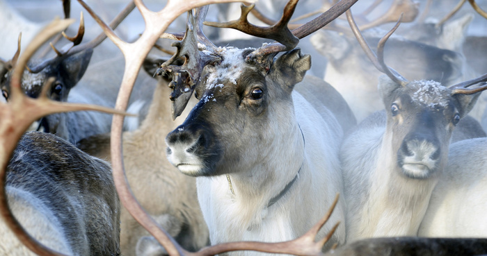 Самые северные животные Дальнего Востока Северные олени, Животные, Дальний Восток, Длиннопост