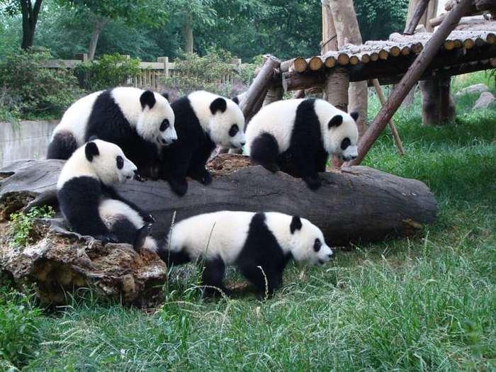 Маленькие хулиганы Панда, Проказники, Пушистое мимими, Медведь, Видео, Длиннопост