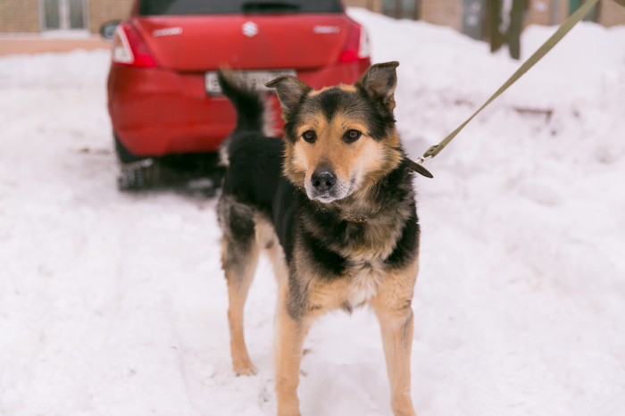 Помогите найти дом для Макса Собака, Найдена собака, Длиннопост, Мытищи, В добрые руки, Без рейтинга