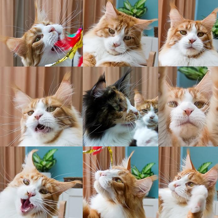 18 мгновений котов Кот, Мейн-Кун, Трехцветная кошка, Портрет, Махалка, Длиннопост