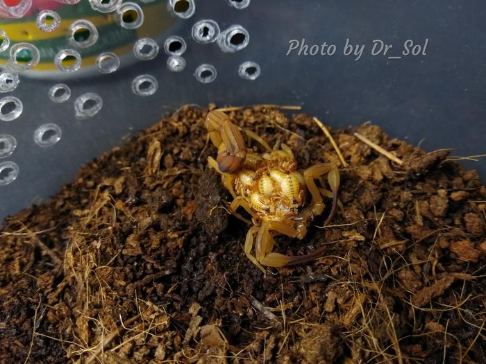 Скорпионы и партеногенез Арахнофобия, Скорпион, Домашние животные, Милота, Партеногенез, Длиннопост