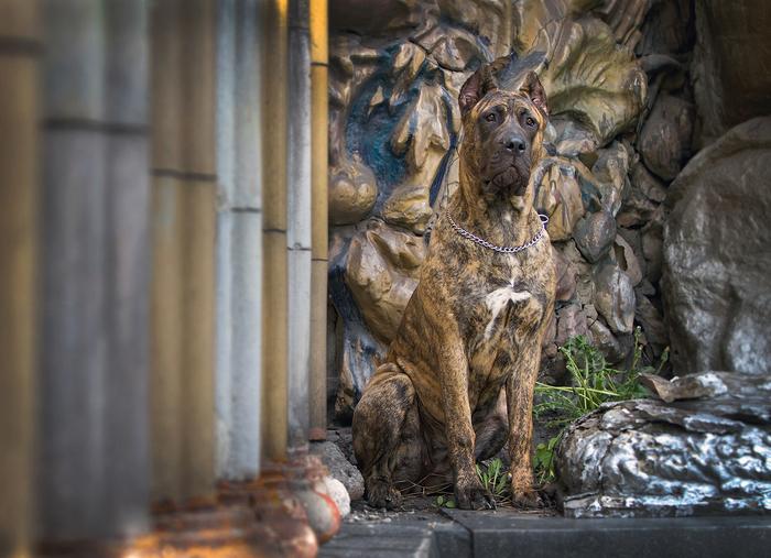 Мимикрия Canon, Собака, Животные, Собачьи будни, Фотография, Канарский дог