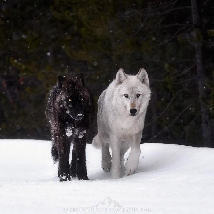 Шикарные шерстяные Фотография, Животные, Волк, Дикая природа