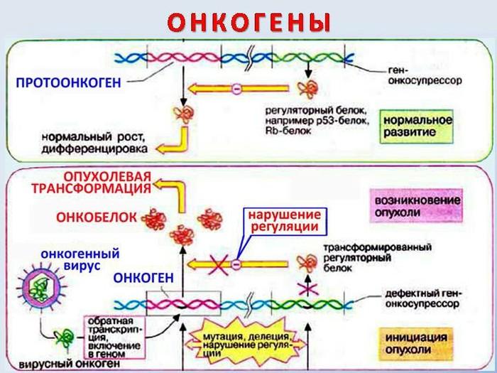 Онкогены. Проонкогены. Рак уже с нами. Рак, Вирус, Онкология, Цитология, Гистология, Эволюция, Биология, Интересное, Длиннопост